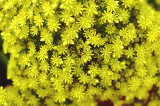 Herb Dandelion Flower #11321