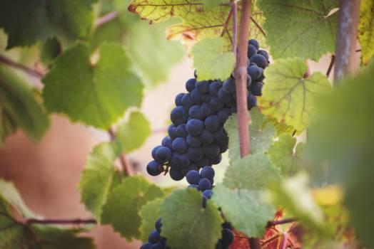 Grape Vineyard Wine Free Photo
