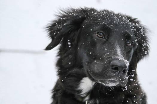 Border collie Shepherd dog Dog #113863