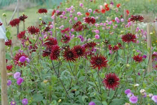 Clover Pink Flower #113962
