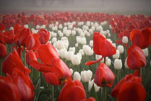 Tulip Spring Flower #114173