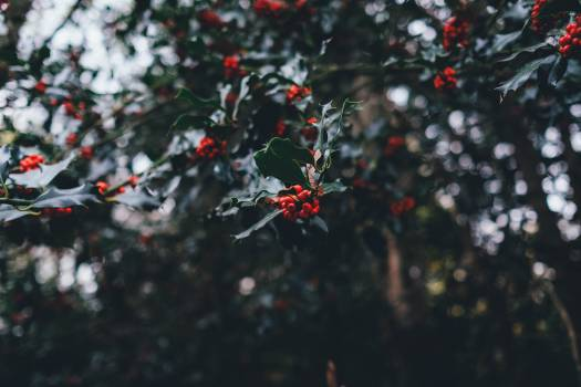 Holly Berry Christmas #11438