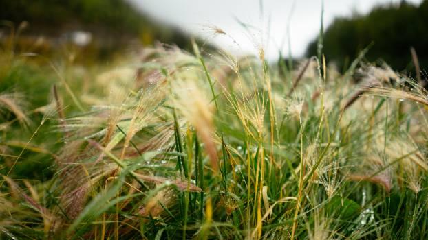 Plant Wheat Field #114543
