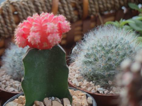 Cactus Plant Flower Free Photo