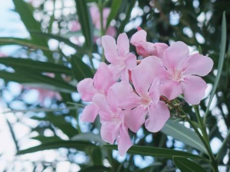 Oleander Poisonous plant Plant Free Photo