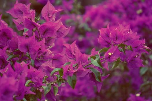Pink Flower Purple Free Photo