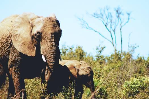 Elephant African elephant Mammal Free Photo