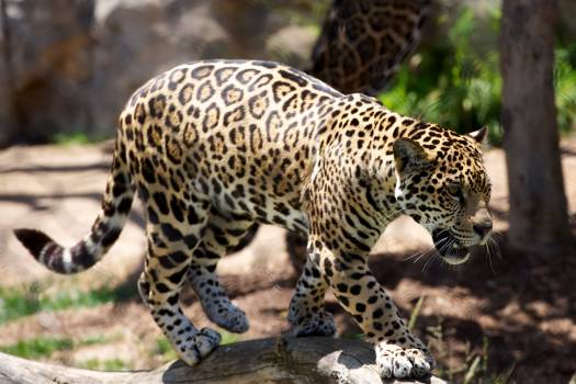 Jaguar Big cat Feline #115890