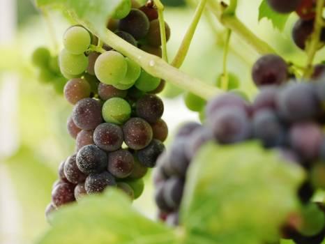 Grape Fruit Vineyard Free Photo