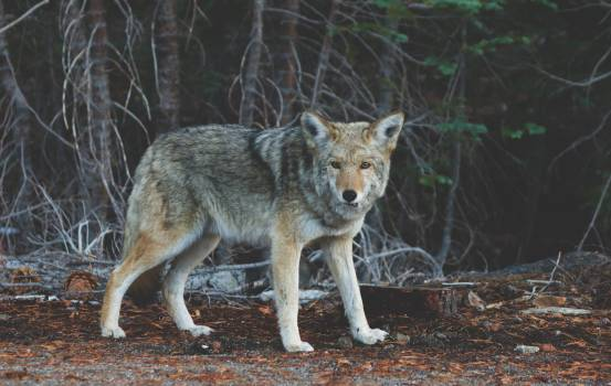 Wolf Canine Coyote #11597