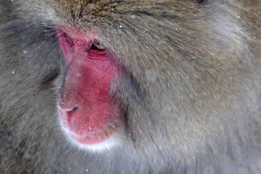 Monkey Macaque Primate #11621