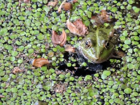 Common duckweed Frog Bullfrog #116405