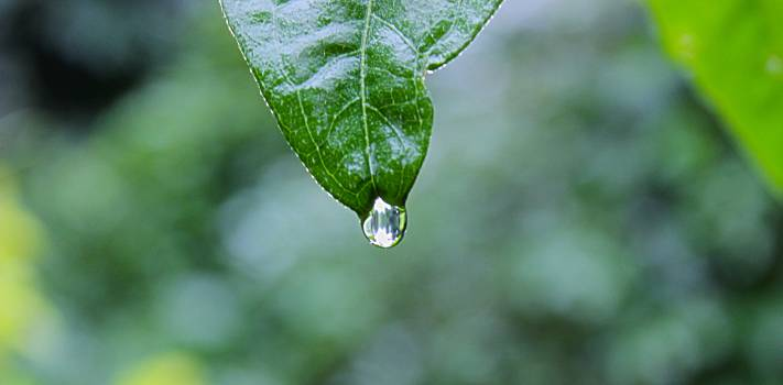 Drop Leaf Rain #11659