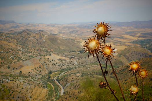 Dandelion Herb Plant #11676