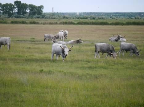 Water buffalo Farm Grass Free Photo