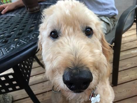 Lakeland terrier Terrier Wirehair #117162