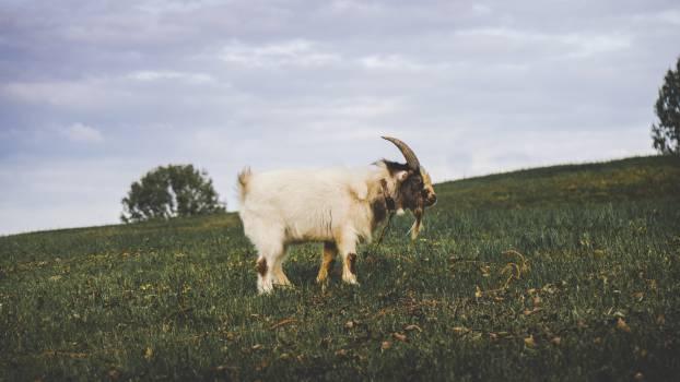 Goat Animal Sheep #11731