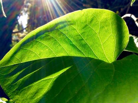 Leaf Plant Head cabbage Free Photo