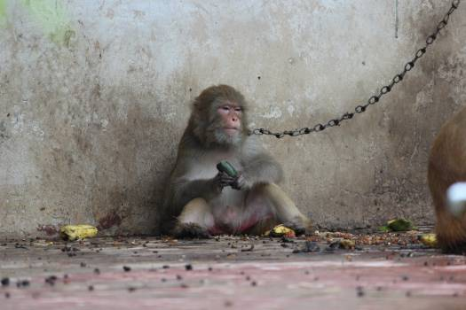Monkey Macaque Primate #117902