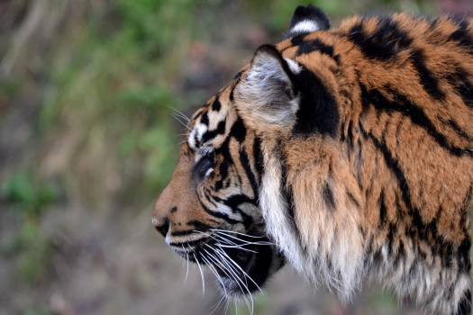 Feline Tiger Big cat Free Photo