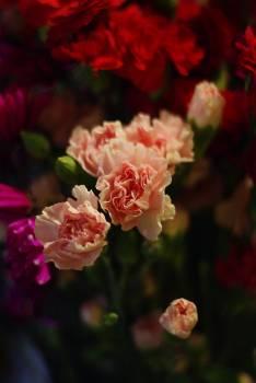 Rose Shrub Pink #118192