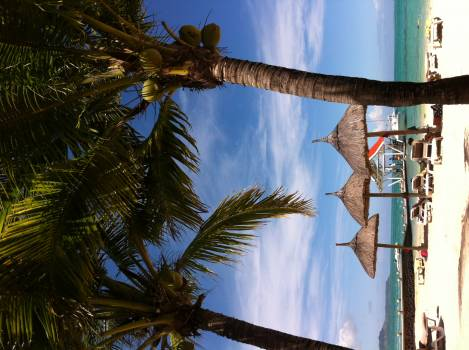Coconut Palm Tree #118481