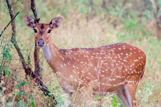 Deer Impala Antelope Free Photo