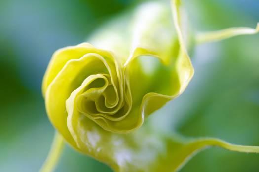Bud Rose Flower Free Photo