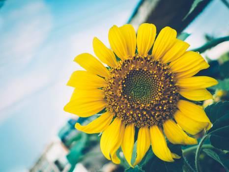 Sunflower Flower Yellow #118696