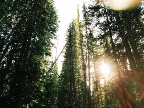 Fir Tree Pine #11881