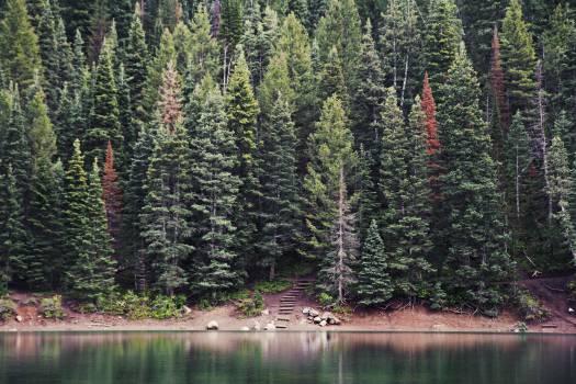 Fir Pine Tree #11885