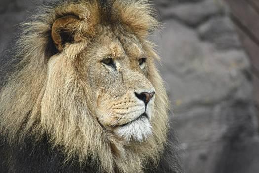 Big cat Lion Feline Free Photo