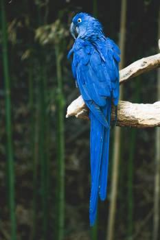 Indigo bunting Macaw Bunting #11933