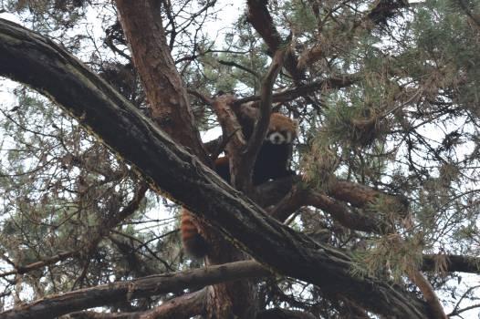 Monkey Tree Howler monkey #119752