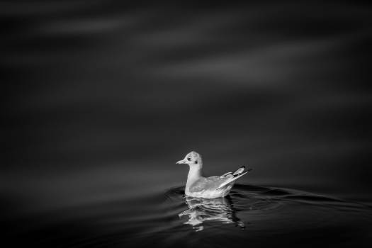 Duck Bird Animal #11987