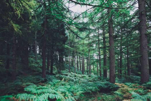 Tree Fir Pine #11991