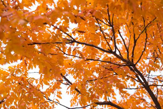 Maple Autumn Leaves #11993