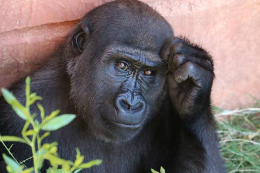 Chimpanzee Ape Gorilla #11994