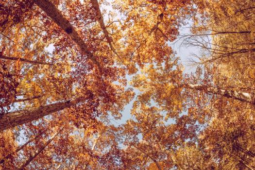 Maple Autumn Tree #11996