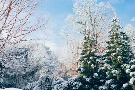 Fir Pine Tree #12006