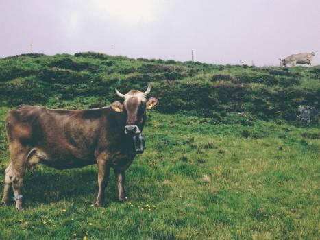 Cattle Grass Farm Free Photo
