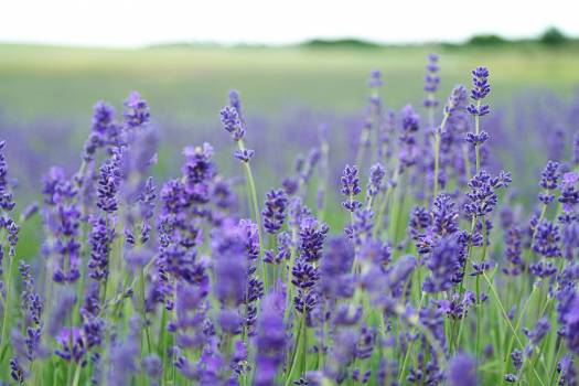Purple Flower Bulb #12018