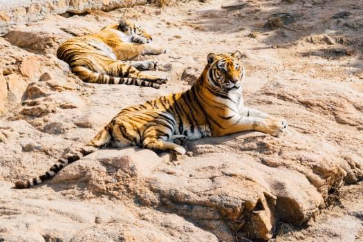 Tiger Big cat Feline Free Photo