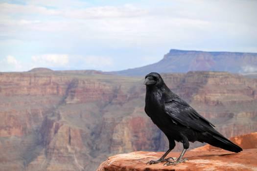 Bird Vulture Water ouzel #12094