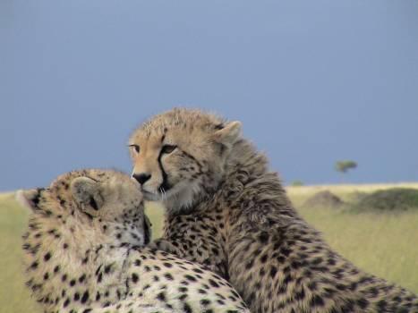 Cheetah Feline Big cat #121616