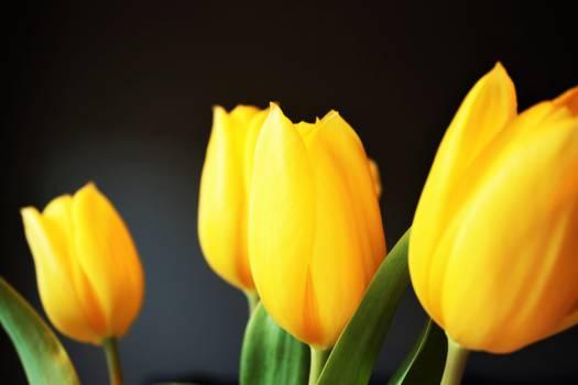 Tulip Tulips Spring #12233