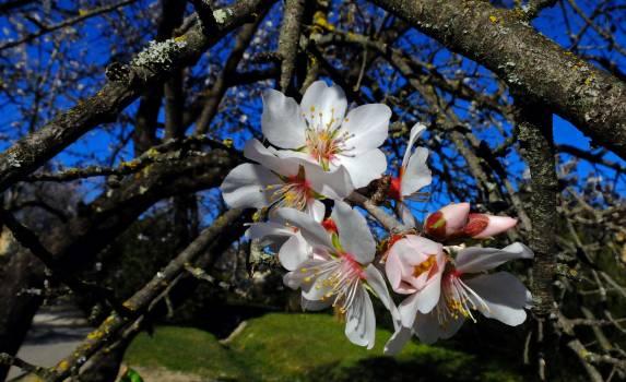 Flower Almond Blossom #122824