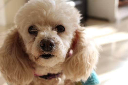 Dog Dandie dinmont Terrier #122945