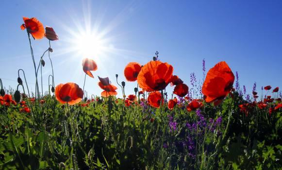 Tulip Flower Spring #12299