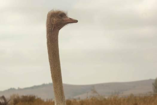 Ratite Ostrich Bird #12300